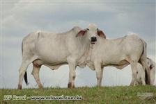 Vacas P.O. Tabapuã