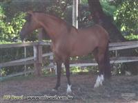Venda de Cavalo Campolina