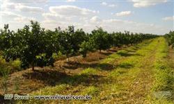 Fazenda de laranja na região de Duartina com lavoura sadia