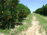 Vendo fazenda com lavoura de laranja na região de Piracicaba/SP