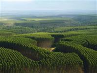 Vendo fazenda de eucalipto com renda localizada a 105km de Três Lagoas