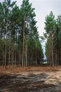 Toras de Pinus e resina