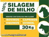 SILAGEM DE MILHO 100%