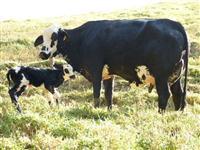 Vacas amojando e recém paridas de alta lactação