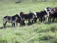 Bezerras girolandas de boa produção leiteira