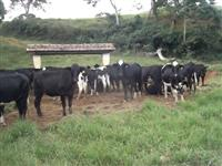 Venda de novilhas girolandas com potencial para muito leite