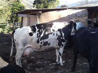 vacas girolandas