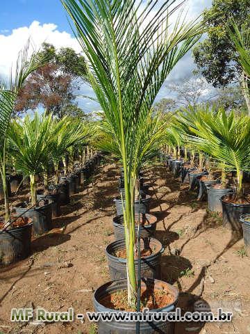 Palmeira Imperial (roystonea oleracea) em Feira de Santana BA Vender ... a574c0d8f7179