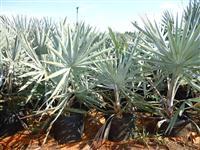 Vendo Palmeira Bismarck azul
