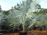 Palmeira Bismarck azul