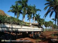 Palmeira Imperial Com 8 metros  sendo 6 metros de  madeira