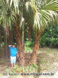 Palmeira Leque Adulta com 2 METROS de Tronco