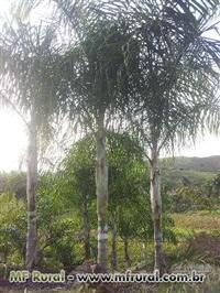 Palmeira Locuba