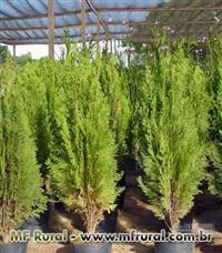 Kaizuka mudas e árvores adultas