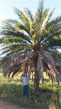 Tamareira de Dubai