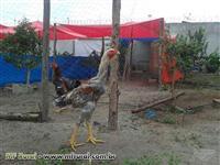 Ovos Galado de Índio Gigante
