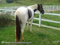 cavalo mangalarga pampa de preto: marcha picada