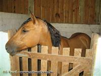 2 cavalos incríveis com 4 anos, domados e castrados!