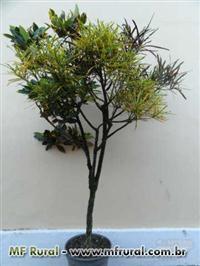 Crotons com vária espécies em uma única planta.