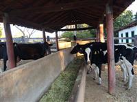 Vacas Holandesas - Pura - Primeira Cria - Amojando