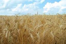 Farelo de trigo saca de 40 Kg