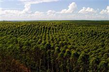 A melhor Fazenda de Eucalipto de Minas Gerais!