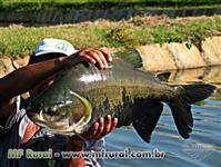 Pirarucu - Alevinos de 10 a 40cm - Comem ração e peixes