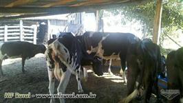 Liquidação plantel vacas de leite