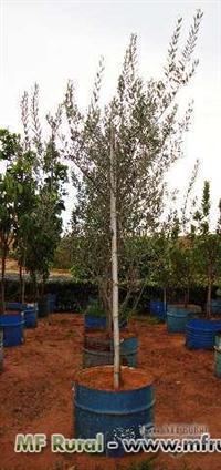 Mudas de Palmeira Azul (Bismarckia nobilis)