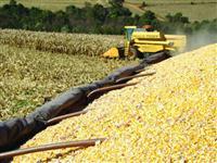 Milho a granel para retirar na fazenda, melhor logistica no Nordeste!
