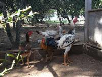Vendo ovos de indio gigante em Viamão RS
