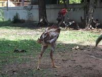 Aves, galos, galinhas, pintos e ovos de Índio gigante em Viamão - RS