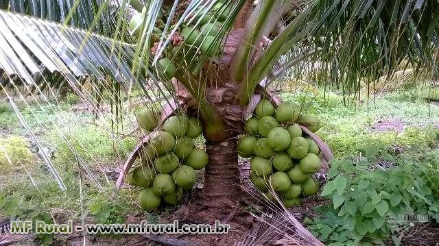 COCO VERDE de Rodelas-BA