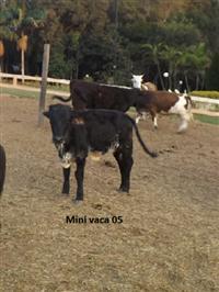 Mini Bovinos, mini vaca, mini vacas Splender, mini vacas comum, mini vaca prenha