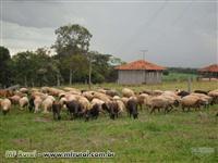 Matrizes de ovelhas santa inês e borregos