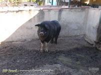 Vendo animais de chacara, javali e porcos