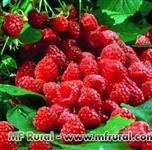 Mudas Framboesa Amarela, Heritage, Boysenberry, Blueberry, Blackberry, Amora