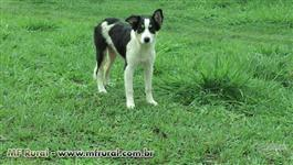 Filhotes BORDER COLLIE