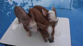 MINI PORCOS MANIA (PIG)