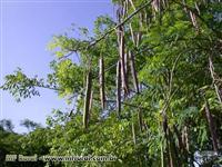 Muda de Moringa Procedência Garantida, Viveiro de Mudas Nativas do Cerrado