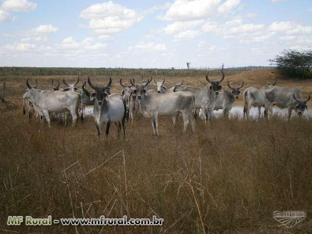 Oportunidade! Venda de 50 vacas da raça Guzerá PO
