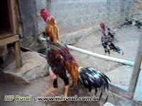 Ovos Galados De Raça Índio