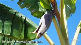 Bananal com 10,000 pes de Banana da terra produzindo
