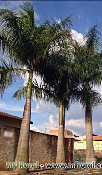 Palmeira Imperial 12 anos