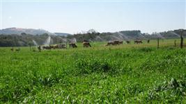 Gado Jersey em sistema irrigado. 31 novilhas 10-14 meses. 1.300-1.800 reais
