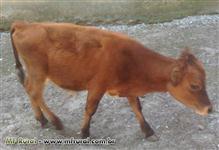 Vendo um Garrote, uma Vaca e um Touro Reprodutor.