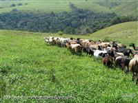 Vendo Ovelhas Santa Ines. Matrizes 100% prenhes de Reprodutores Dorper e White