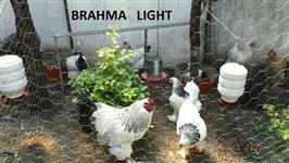 Ovos de Galinhas Ornamentais Gigante-raça pura-2,00-Betim-mg