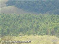 Fazenda 150 hectares + 120 mil pés de eucalipto com 7 anos
