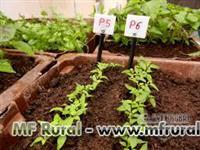 Mudas de Pimenta Malagueta e Bikinho prontas para o plantio